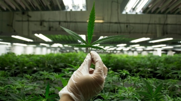 cannabis growing myths