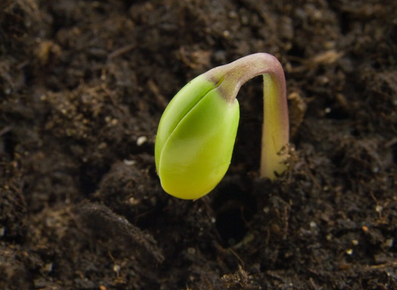 Cannabis Life Cycle seedling stage