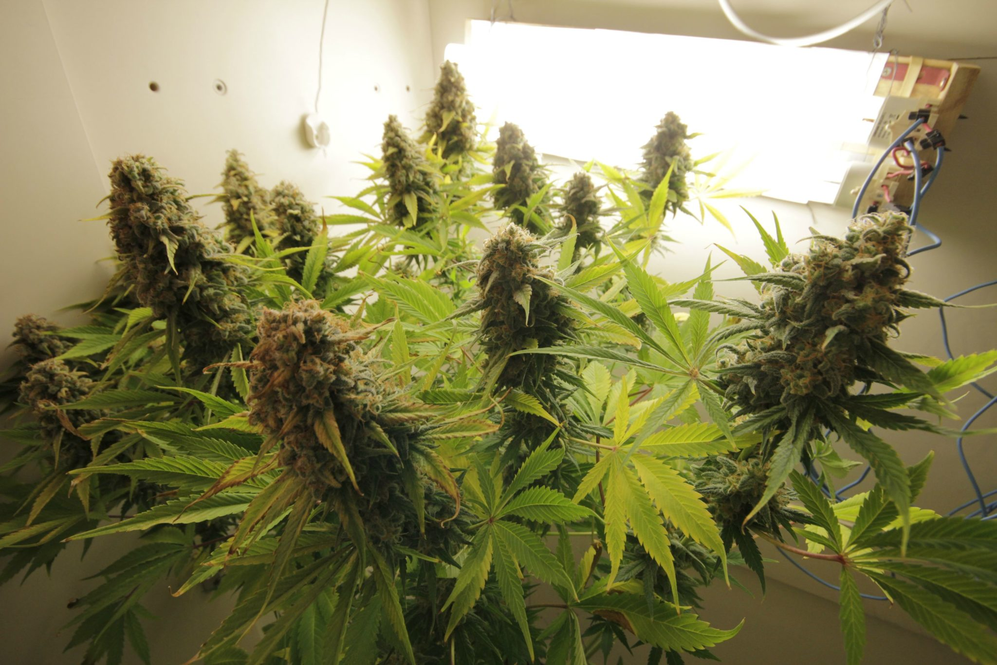 Growing AK47 weed strain