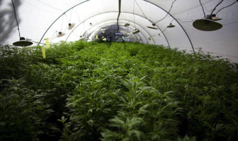 Medical Marijuana grow operation