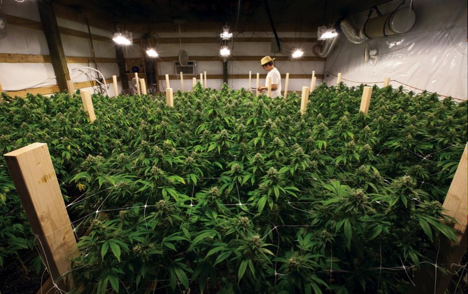 Recreational cannabis farm