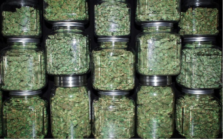 Jars of cannabis curing