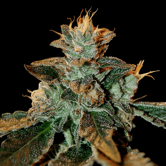 Cataract Kush cannabis cola