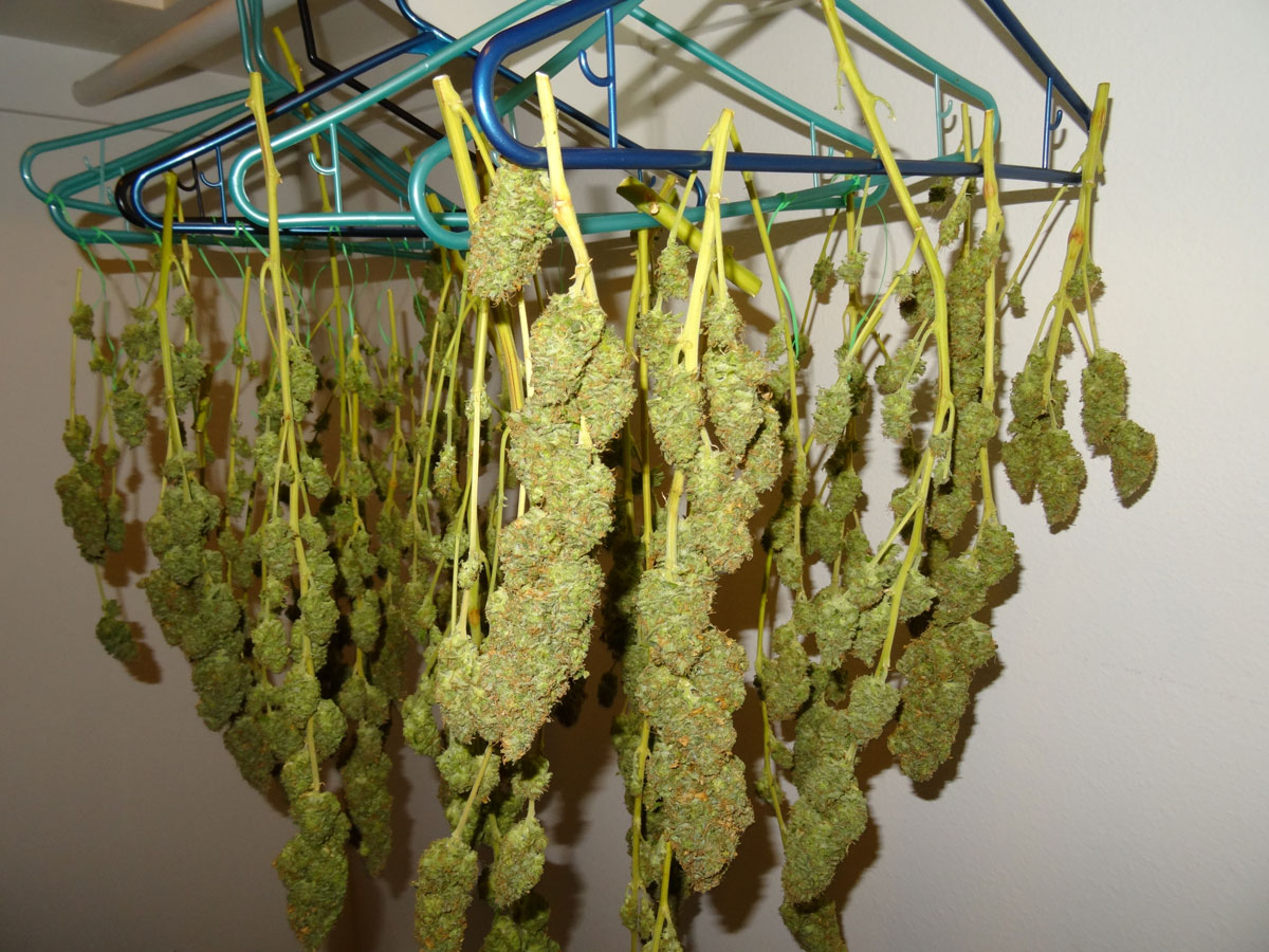 Hanging your cannabis buds to dry