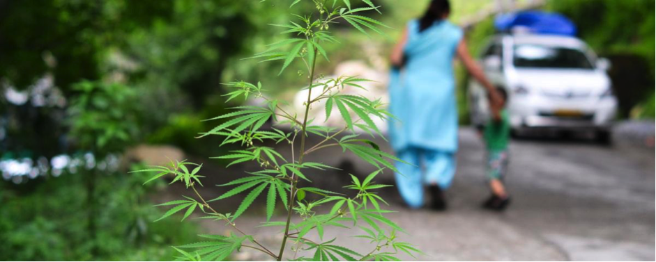 Cannabis grows wild in large parts of India