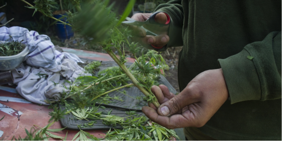 cannabis grown for cooking oil