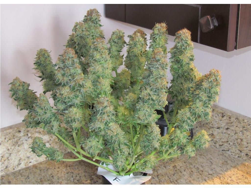 Incredible Bulk Cannabis Strain review