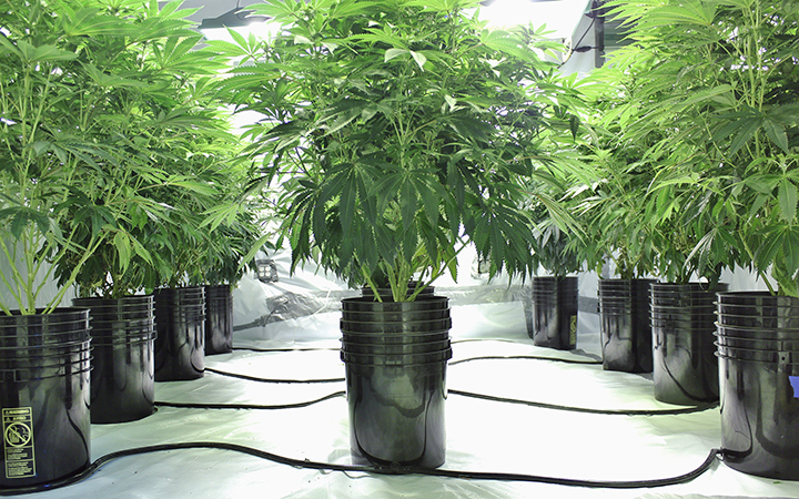 Growing cannabis with hydroponics
