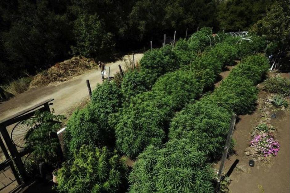 California Legal Cannabis