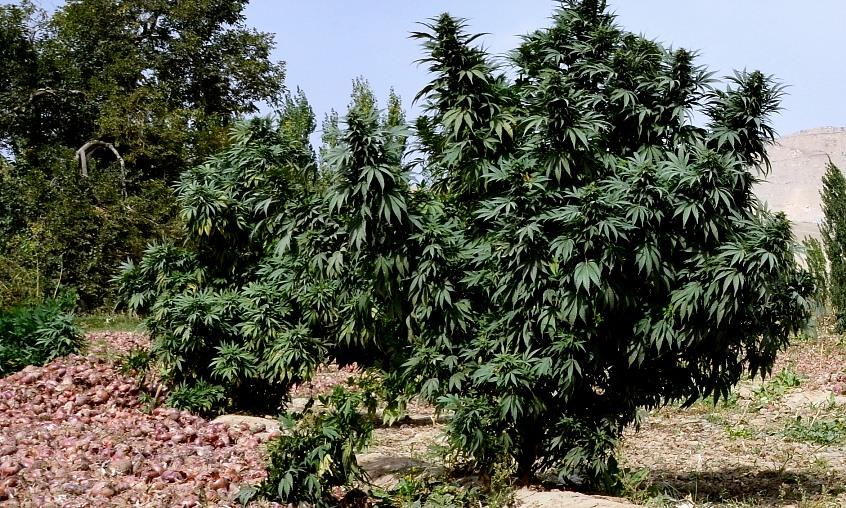 mazar i sharif grown outdoors