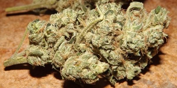 violator kush cannabis strain