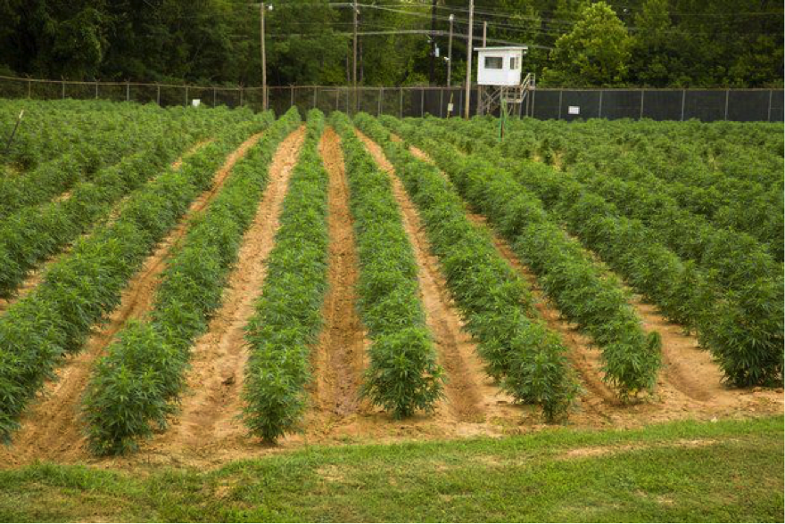 Cannabis growing at Mississippi University