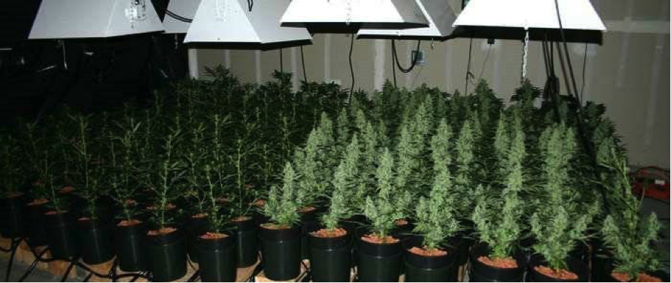 Autoflower cannabis plants growing