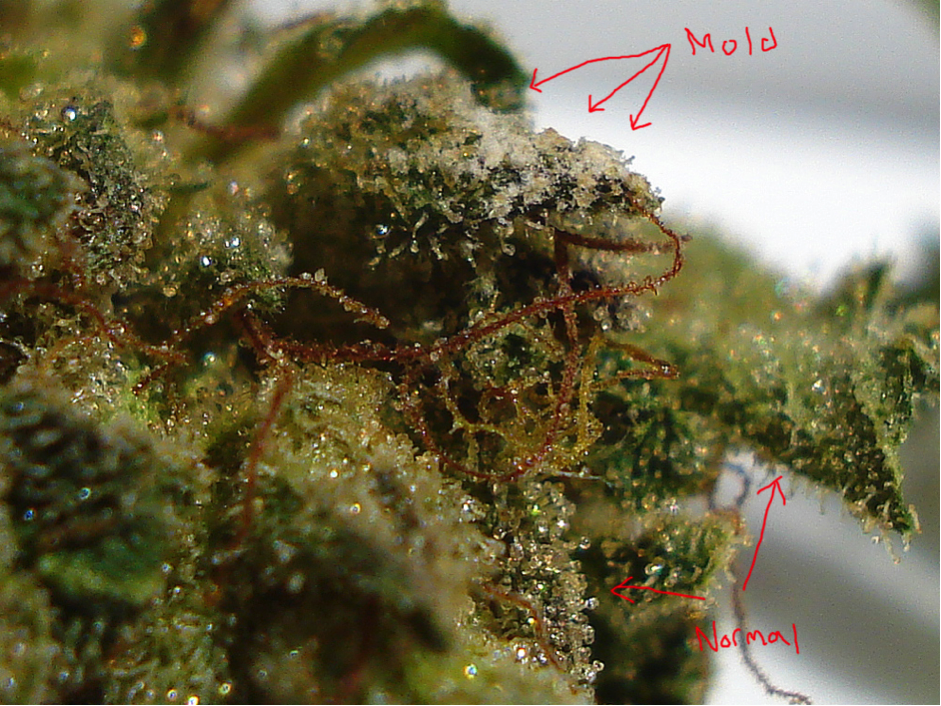 identifying mold on weed