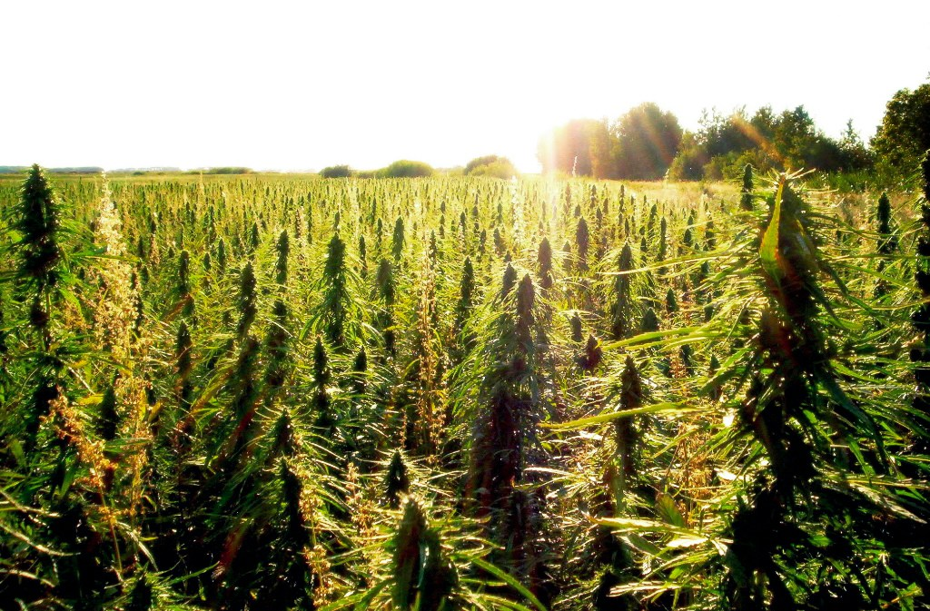 Indsutrial hemp and 2017 legalization