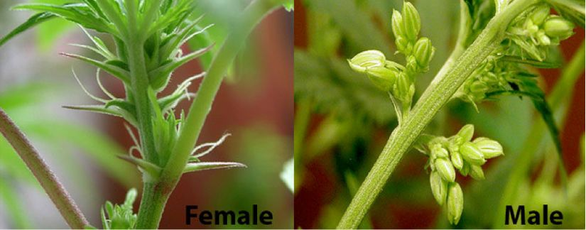 Hermie Marijuana Plant