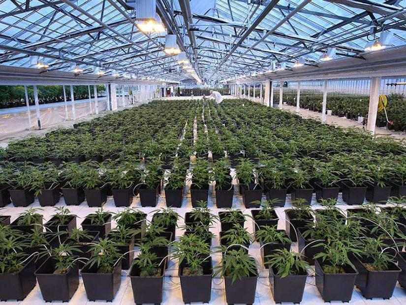 Canada commercial cannabis grow True Leaf